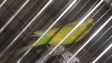 طير حب لون اصفر مع قفص  + قفص هدية