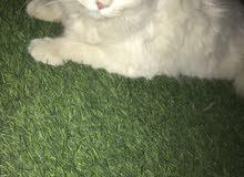 فندقية قطط