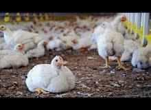 دجاج ابيض للبيع