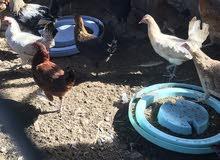 دجاج عماني قريب ينتج بيض