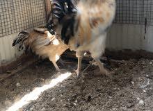 للبيع دجاج وبط