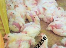 فراريج ودجاج للبيع الطائف