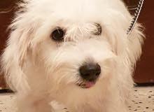 كلب زينة تطعيمات كاملات بالكتيب