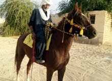حصان نص انجليزي