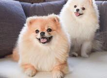 احتاج كلب ضروري للتبني او للبيع بسعر معقول