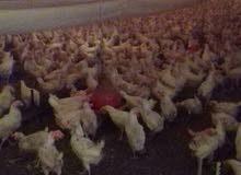 دجاج بياض للبيع جمله 70 هلله