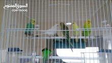 للبيع طيور  البتجي  بحريني تربيت بيت  زوج ب6 دينار وياه قفص  ب10دينار