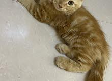 قطه تهجين شرازي تركي