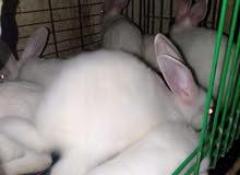 ارانب الارنب ب75