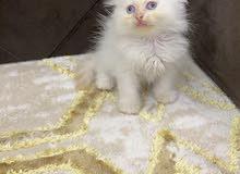 قططً جميله للبيع