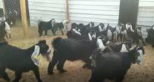 الماعز العارضي
