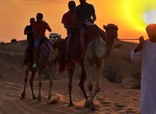 camel ride for events all UAE 0504577490