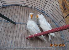عدد (5 ) طيور البينو غير محددين الجنس