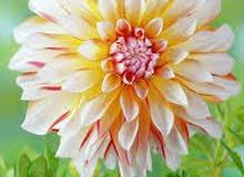 زهرة الد اليا زهره بألوان مختلفة  حجم كبير   من أجمل ازهور