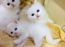 قطط شيرازي مون فيس العمر شهر