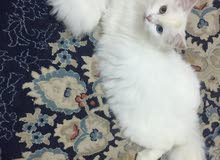 قطه شيرازيه شعرانيه حامل