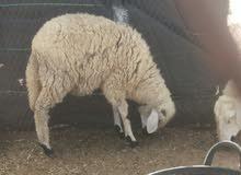 خروفة للبيع بعمر سنة