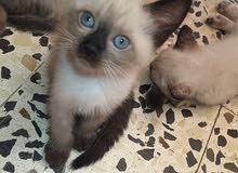 قطط هجين الام سيامي والاب فارسي
