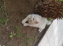 قطة شيرازي عيون لونين