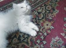 قط صغير هيمالايا اورانج مون فيس