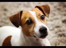 كلب جاك روسيل