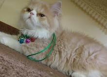قط وقطه شيرازي وهملايا حاجه صح مشاءالله عز كسبه.
