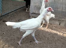 دجاج تايلندي لون ابيض