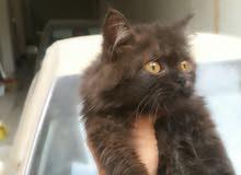 قطه شيرازيه انثى عمر 6 أشهر