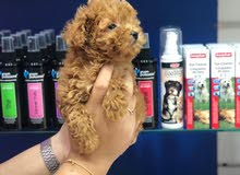 بودل بيور للبيعPure Toy Poodle puppies