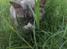 القطه للبيع القطه حلوه و لعوبه و تحب تلعب هيا الناس