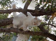 قط شيرازي للبيع (ذكر)