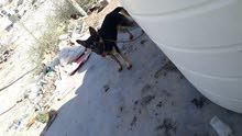 كلب جيرمن للبيع السعر قابل للتفاوض