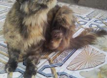قطة اليفة للبيع