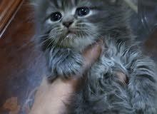 قطة شيرازي بيور شانشيلا العيون زرق وشعر طويل العمر شهر