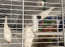 اربع طيور كناري إيراني لون ابيض للبيع