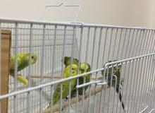 عندي طيور حب