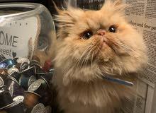 قط بيكي فيس ذكر فحل