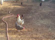 6دجاجات بيض امتاع دحين امعاهن2صراديك بصحةممتازةمشاءالله