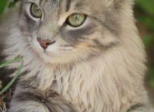 قط فارسي ذكر للبيع