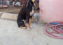 كلب ديبرمان