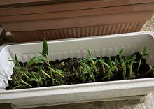 السبانخ المائي (Water Spinach)