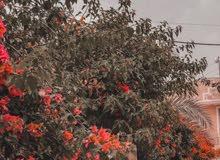 يوجد عامل حدقجي ترتيب الحدايق وتزين الثيل ولاشجار