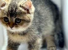 Scottish Straight Kitten male ذكور سكوتش ستريت