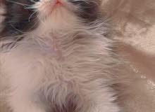 قطة أنثى عمر شهرين اب بيرشن وام هملاية