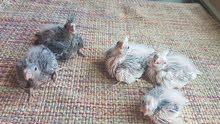 Cockateil chicks