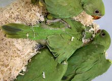 Baby Parrot Available in RAK