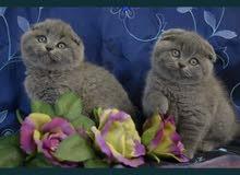 قطط سكوتش فولد Scottish fold انتاج اوكرانيا مستوياتخارقة