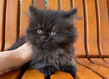 قطة شيرازي  - بنت - عمرها شهرين