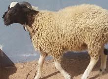 خروف للبيع تاجوراء