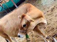 jalsey cow